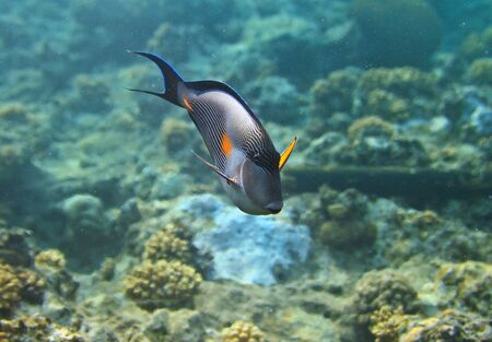 surgeonfish: Blue surgeonfish Stock Photo