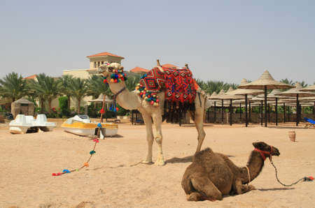 saddle camel: Camels on the Egyptian beach of Sharm el Sheikh