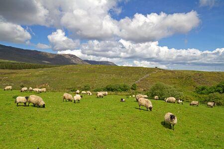 connemara: Sheep of Connemara mountains Stock Photo