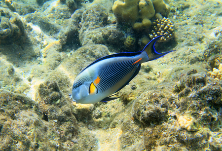 hepatus: Blue surgeonfish Stock Photo