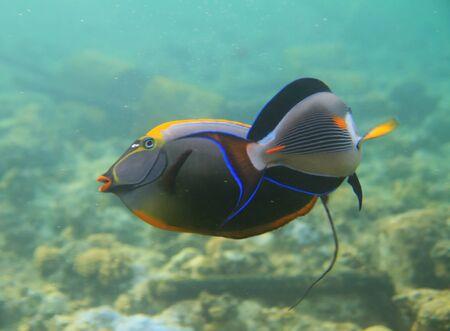 sohal: Sohal surgeonfishes Stock Photo