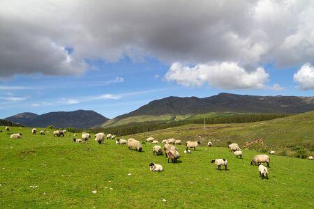 connemara: Sheep and rams in Connemara mountains