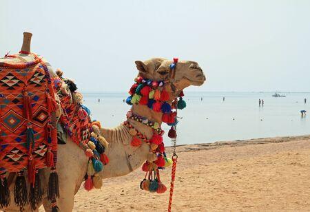 sharm el sheikh: Camel on the Egyptian beach of Sharm el Sheikh