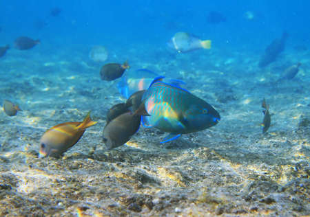 parrotfish: Fishes of the Red Sea,Egypt Stock Photo