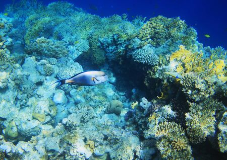 paracanthurus: Coral reef and fishes in Egypt