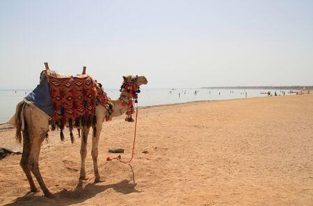 sharm: Camel on the beach of Sharm el Sheikh