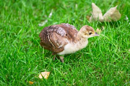 hatchling: A peacock chick walking in the grass