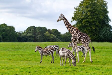 grassland: Zebras and girrafe in the wildlife park
