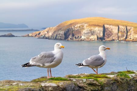 dunquin: Seagulls on the coast of Dingle Peninsula in Ireland