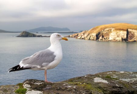 dunquin: Seagull on the coast of Dingle Peninsula in Ireland Stock Photo