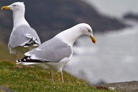 dingle: Seagulls on the coast of Dingle Peninsula in Ireland