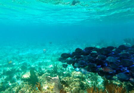 shoal: A shoal of blue fishes in the Caribbean Sea, Mexico