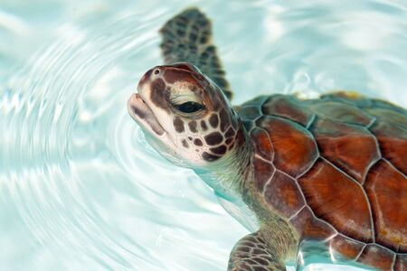 baby turtle: Baby turtle in the water