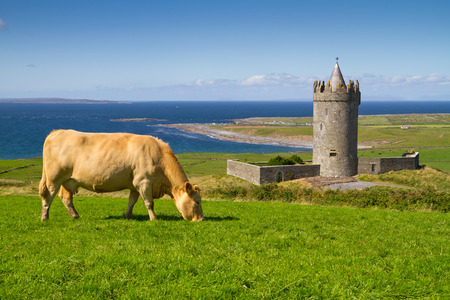 doolin: Doonagore Castle with cow on the farm