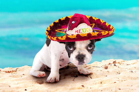 French bulldog puppy in Mexican sombrero on the beach