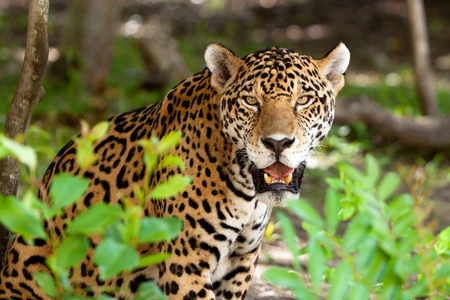 Jaguar in wildlife park of Yucatan in Mexico