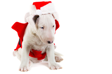 santa suit: Bull terrier puppy in santa suit over white background