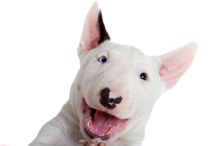 Adorable bull terrier puppy over white background
