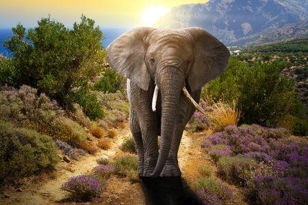 Elephant marche sur la route au coucher du soleil