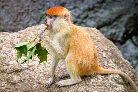 Red hair monkey sitting on the ground