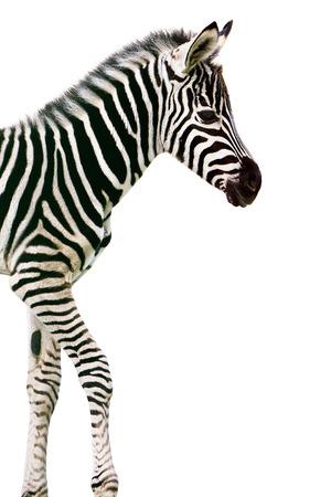 New born baby zebra over white background 写真素材