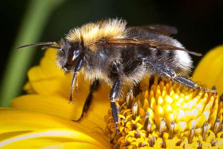 bumblebee: Bumblebee on the flower Stock Photo