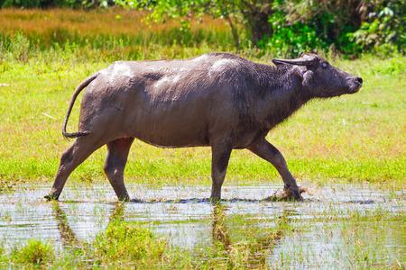 koh kho khao: Buffalo in wildlife, Thailand