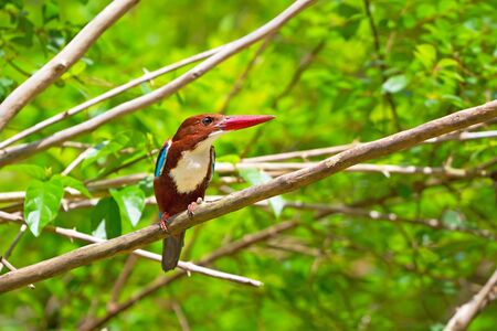 brown throated: White-throated Kingfisher bird in Thailand