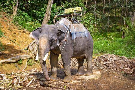 sok: Elephant with trekking bench in Khao Sok National Park, Thailand