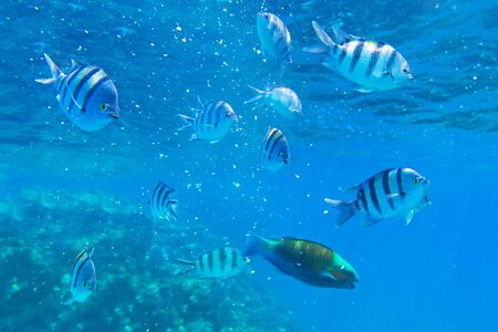 parrotfish: Coral reef of the Red Sea with tropical fishes, Egypt