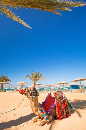 desert oasis: Camel resting in shadow on the beach of Hurghada, Egypt Stock Photo