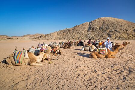 hurghada: Bedouin people with camels resting on the desert near Hurghada
