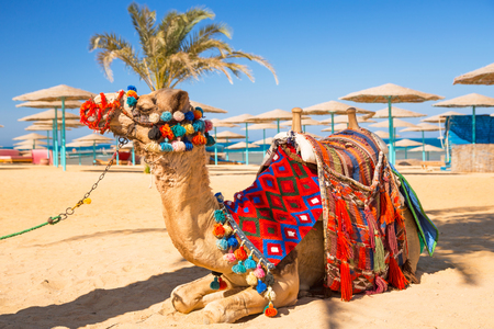 hurghada: Camel resting in shadow on the beach of Hurghada, Egypt Stock Photo