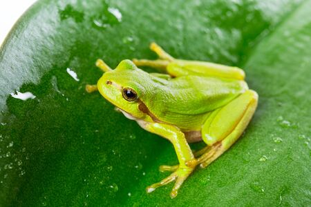 treefrog: Macro shot of green tree frog on the leaf