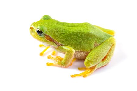 treefrog: Green tree frog over white background