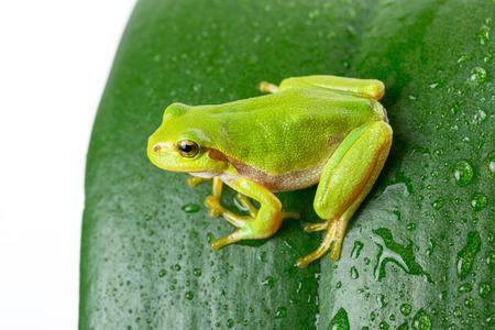 green tree frog: Macro shot of green tree frog on the leaf