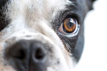 eye contact: Eye contact with french bulldog Stock Photo
