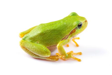 green tree frog: Green tree frog over white background