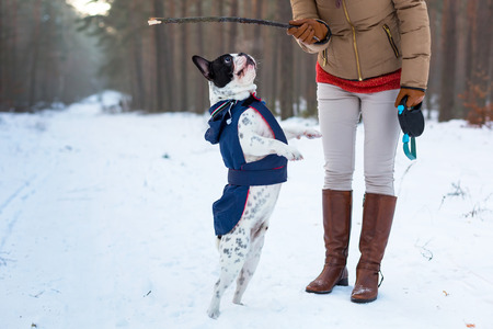 French bulldog in winter jacket jumping for a stick