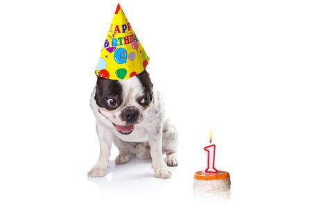 jelly head: French bulldog on his first birthday with doggy cake Stock Photo