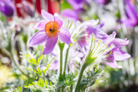 pasque: Pasque flowers in the spring garden