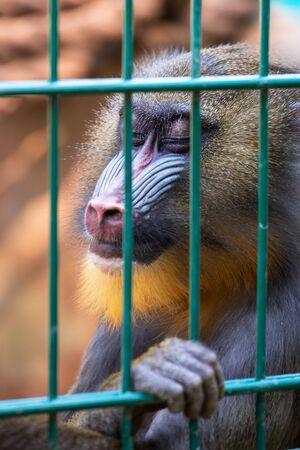 imprisoned: Mandrill monkey imprisoned in the zoo