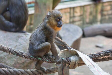 mandrill: Mandrill monkey in the zoo Stock Photo