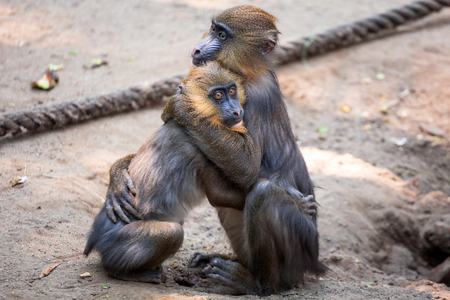 mandrill: Mandrill monkeys hugging in the zoo Stock Photo