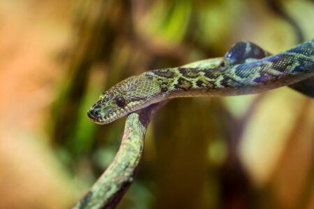 royal python: Close-up of a Royal Python on the tree Stock Photo