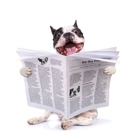 Funny french bulldog reading newspaper over white background