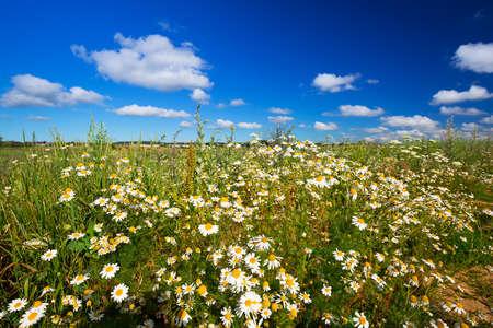 idyllic: Idyllic meadow with camomile flowers in Poland Stock Photo