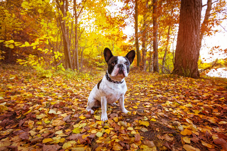 French bulldog in autumnal scenery