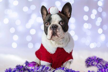 christmas costume: French bulldog in santa costume for Christmas