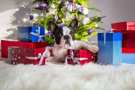 christmas tree presents: French bulldog under the Christmas tree with presents Stock Photo